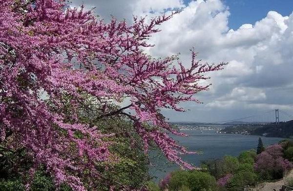 Photo of Erguvan renkli bir dünya düşü… – Korkut Akın yazdı…